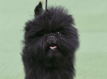 S-BANANA-JOE-WESTMINSTER-DOG-SHOW-154x114